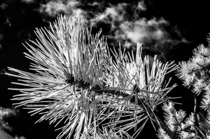 Binhammerphotographs infrared pine tree
